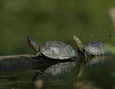 Deux tortues Cistude hors de l'eau se réchauffent au soleil