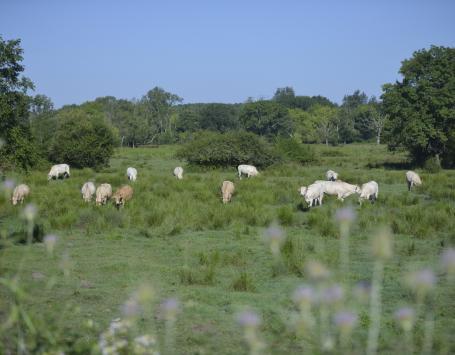 Vaches blanches broutant dans une prairie, au milieu des touffes de joncs et de bosquets d'arbres