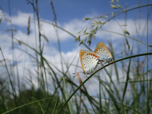 Deux papillons Cuivré des marais