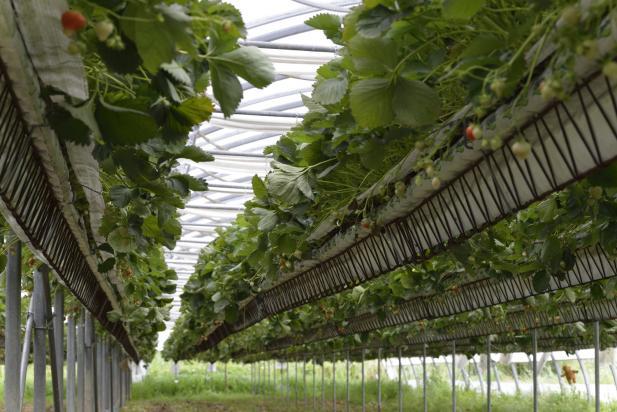 Production de fraises hors-sol sous serre